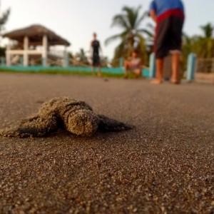 Sea Turtles in El Salvador